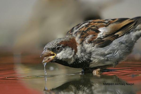 Where have the sparrows of Delhi gone?